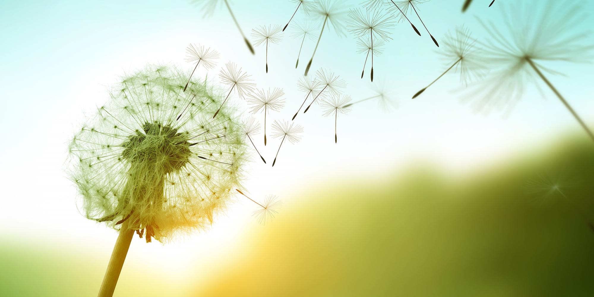 Pusteblume mit fliegenden Samen Richtung Himmel